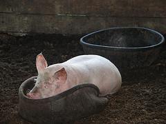 pig in slop